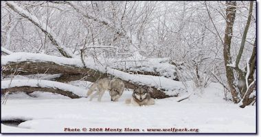 Wolves at Wolf Park