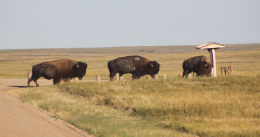 Three Buffalo in the Badlands